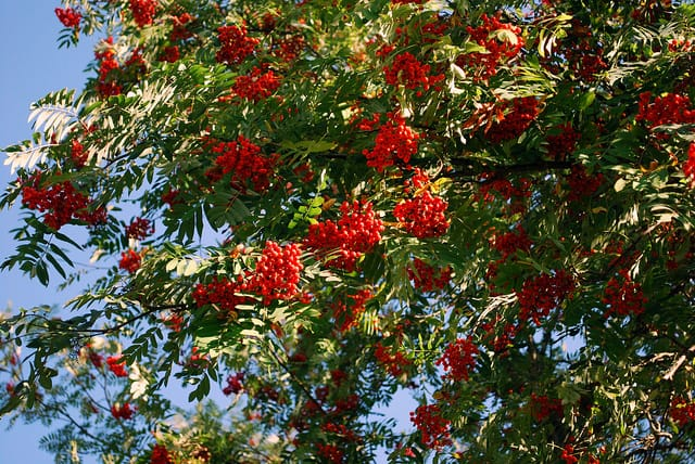 3 further How To Grow A Rowan Tree Mountain Ash further A Date With Medjool moreover Stemphylium Solani together with Seed Starting Techniques And Products For Success. on growing tomatoes