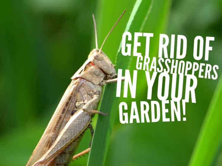 How to get rid of grasshoppers in the garden gardening - How to get rid of bugs in garden ...
