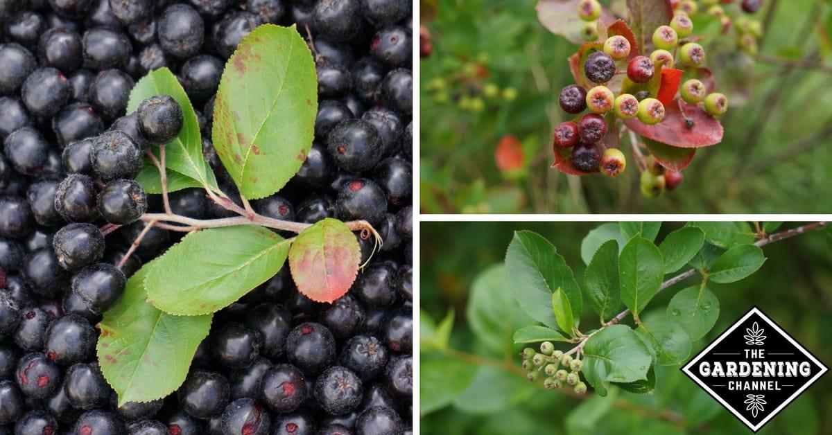 How To Grow Aronia Berries Chokeberry A Superfruit