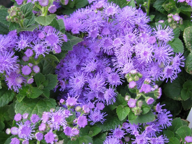 How to Grow Ageratum Floss Flower Gardening Channel
