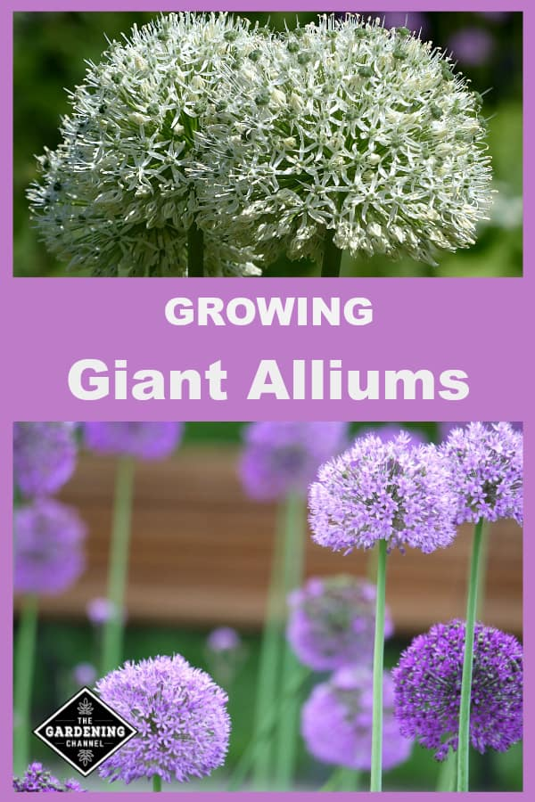 Want A Cool Flower Grow Giant Alliums Gardening Channel