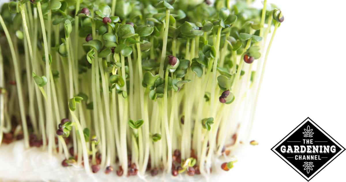 Broccoli Sprouts and Cancer | Sprout It Up