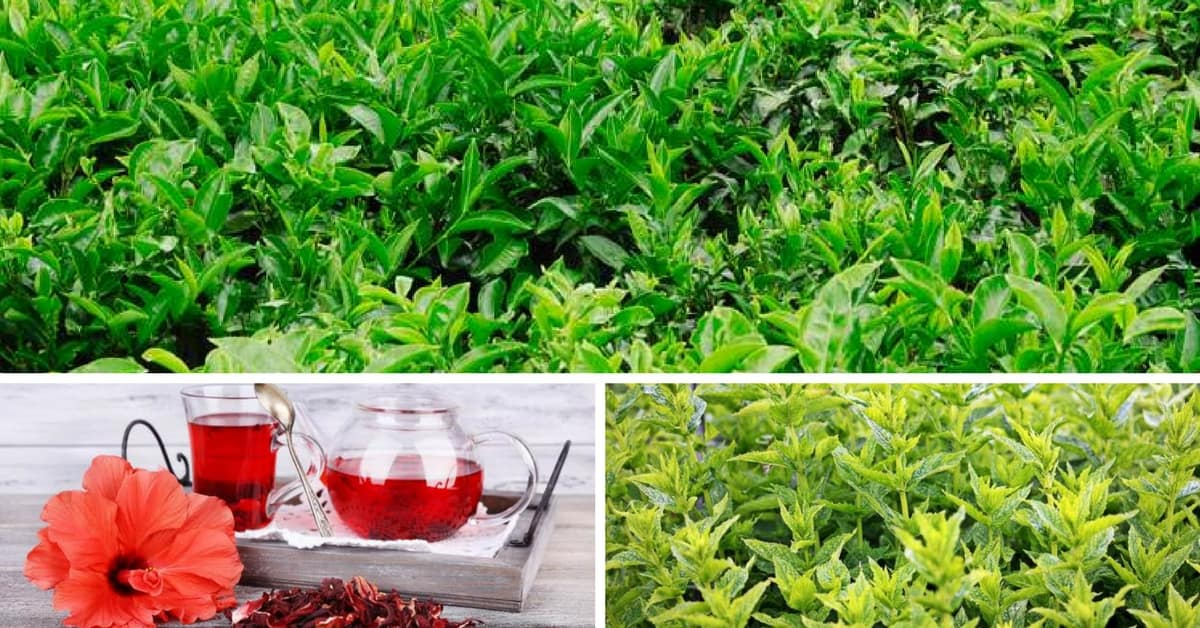 How To Grow Care For And Harvest Your Own Tea Garden