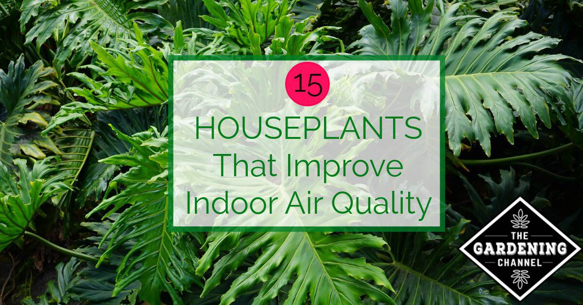 Top house plants for improving air quality gardening channel for Best plants to improve air quality