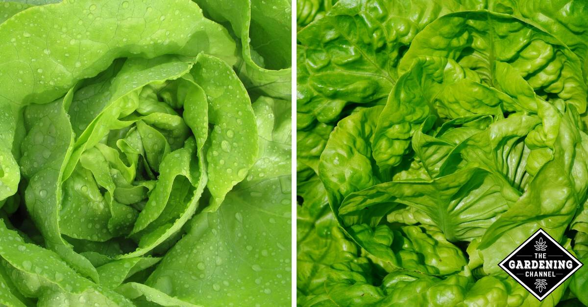 How To Grow Butter Lettuce Gardening Channel