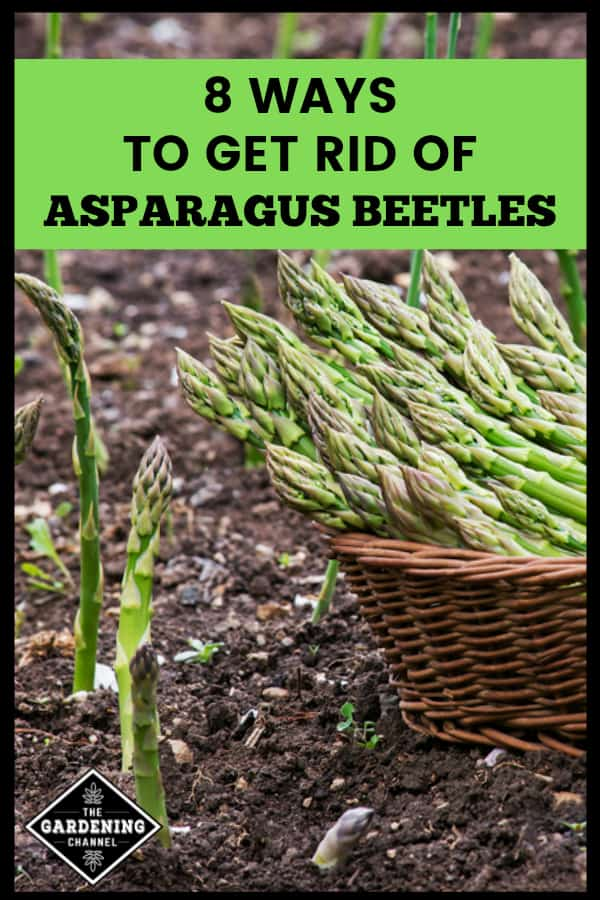 Gardening Know How explores Controlling Asparagus Beetles · Pennsylvania State University covers Asparagus Beetles