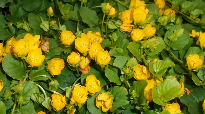 How To Grow Creeping Jenny Gardening, Creeping Jenny Ground Cover Seeds